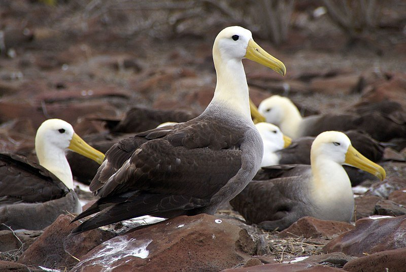 6 Galapagos Albatross group together, one looks out while the others rest