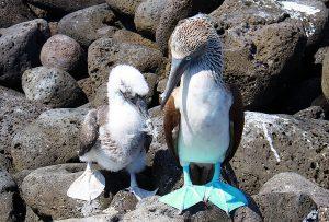Markenzeichen des Galapagos Blaufußtölpels sind die leuchtend blauen Füße