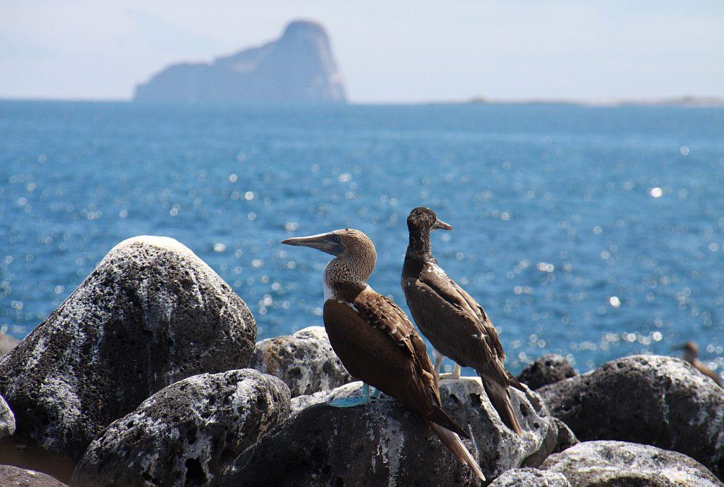 Galapagos Blaufußtölpel Pärchen beim Blick auf das Meer