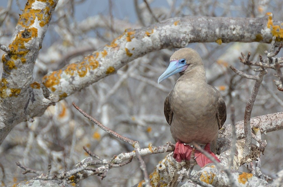 Adorable red-footed booby in the Galapagos Islands