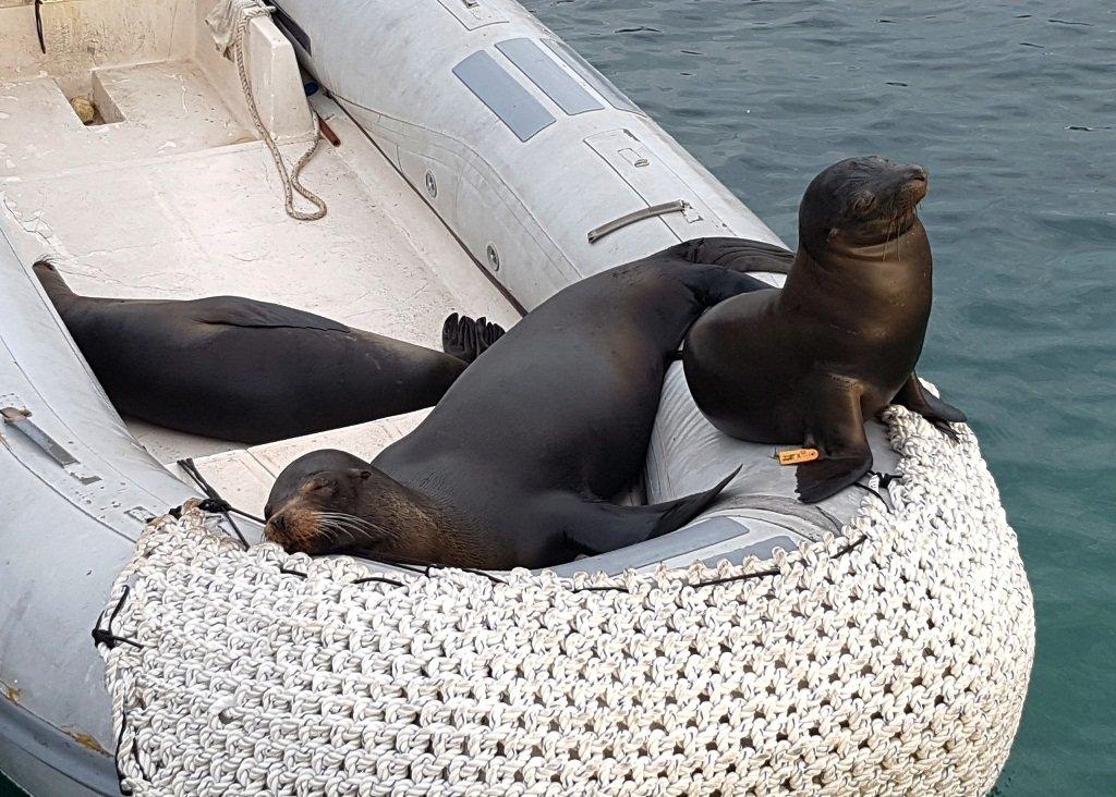 3 sea lions in a rubber boat