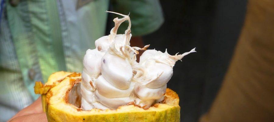 Galapagos PRO zeigt auf Kakaoplantage von Pacari die Entstehung von Schokolade