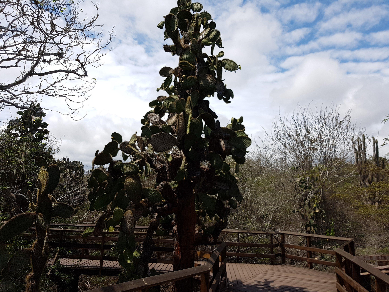Baumhohe Kakteen - Opuntien auf Santa Cruz, Galapagos