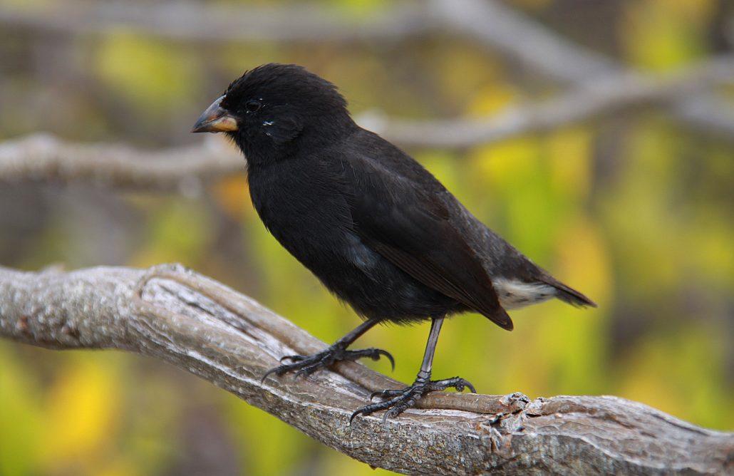 Schwarzer Darwinfinke mit der typischen Schnabelform