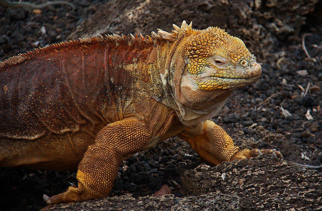 Gelber Galapagos Landleguan auf der Insel Santa Fé