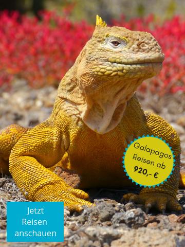 Entdecken Sie die gelben Landleguane auf einer Galapagos Reise
