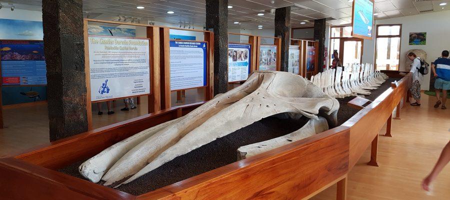 Charles Darwin Station auf Galapagos - Originale Knochen eines Wal-Skelettes