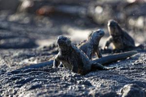 Nahaufnahme von Meeresechsen in der Abenddämmerung auf der Galapagos Insel Fernadina in Ecuador FAQ