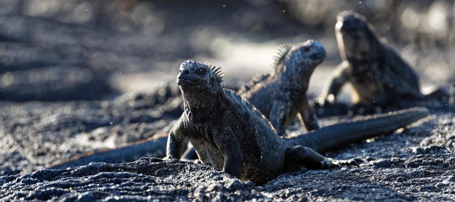 Meeresechsen auf Fernandina (© Hartmut Röder)