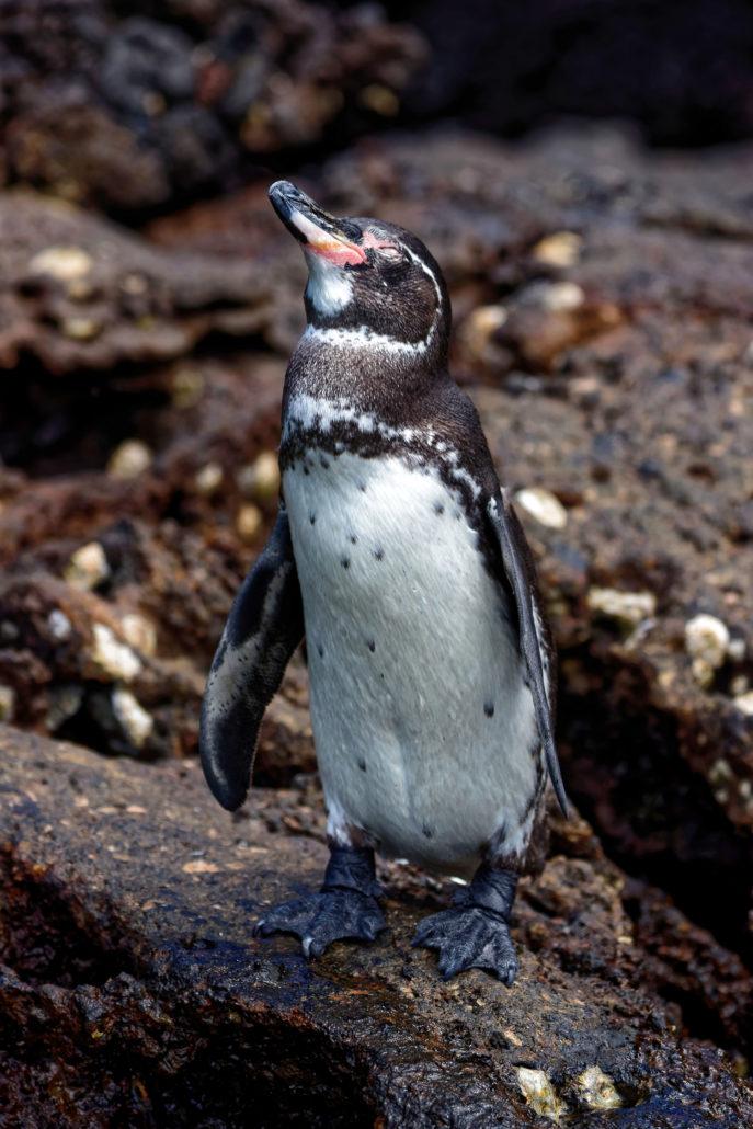 Galapagos Penguin on the rocks of Bartolome Island