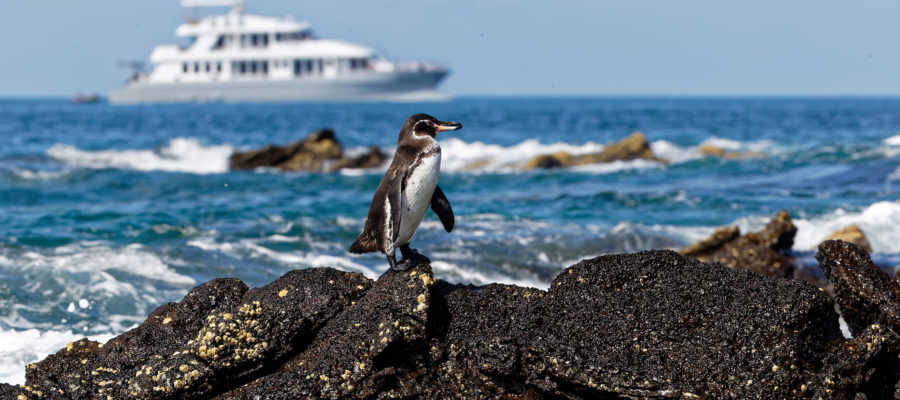 Südamerika, Ecuador, Galapagos Inseln, Insel Bartholomé, Galapagos Pinguin (Spheniscus mendiculus) // South America, Ecuador, Galapagos Islands, Bartholomé, Galápagos penguin (Spheniscus mendiculus)