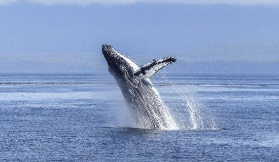 humpback-whale-436120_960_720