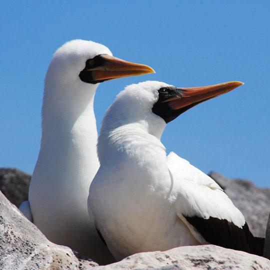 720-nazca-booby