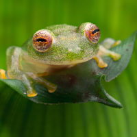 Glass frog / Glasfrosch
