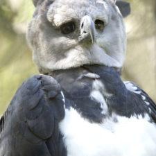 Harpy-Eagle - Shutterstock (small)