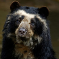 Spectacled Bear / Brillenbär