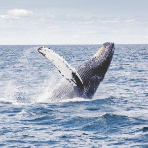 Buckelwal / Humpback Whale