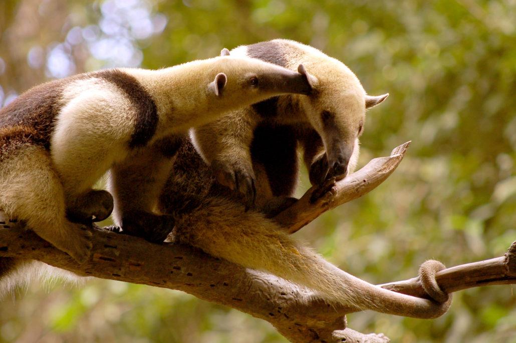 Tamandu Mexicana Couple in Ecuador - Ecuador Animal Tour