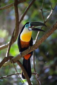Toucan Ecuador