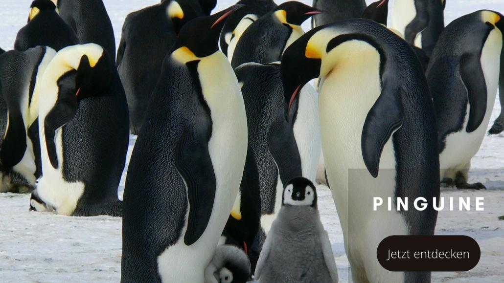 Tierwelten Pinguine - Galapagos PRO