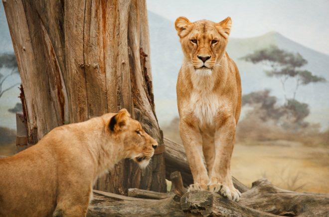 Tierwelten Löwen