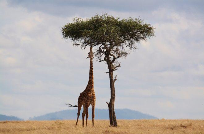Tierwelten Giraffe