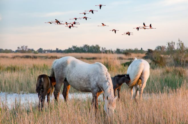 Tierwelten Pferde der Camargue