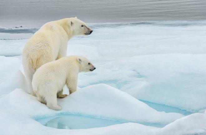 Tierwelten Eisbären