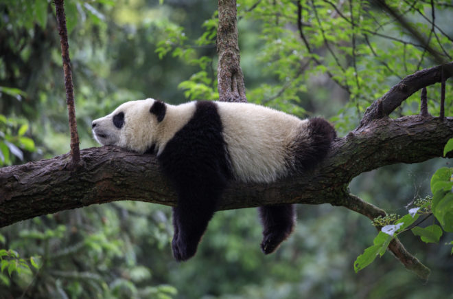 Tierwelten Panda