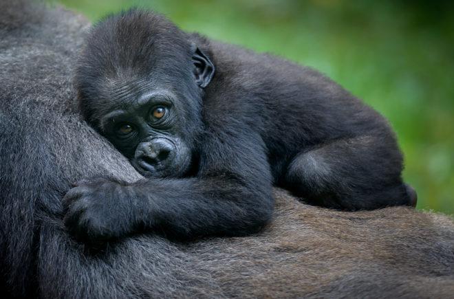 Tierwelten Berggorilla