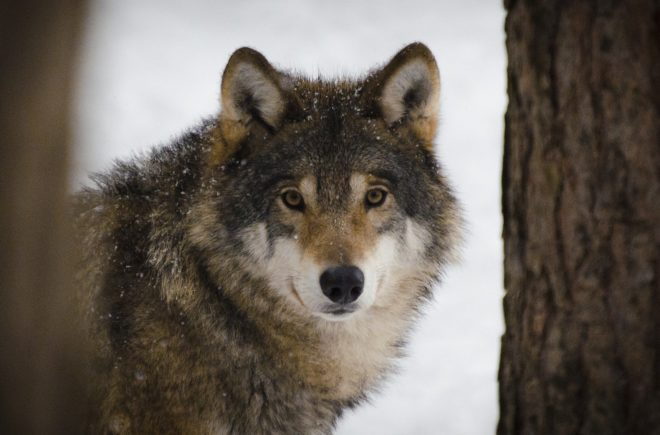 Tierwelten Wölfe