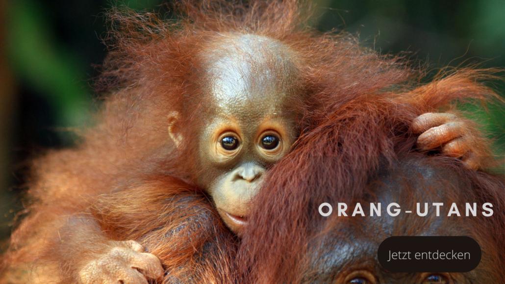 Tierwelten Organg-Utans - Galapagos PRO