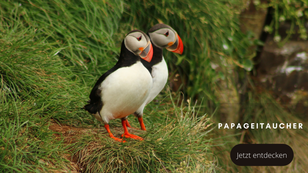 Tierwelten Papageitaucher - Galapagos PRO